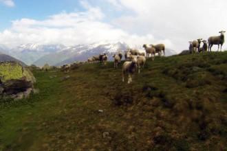 Überall Schafe