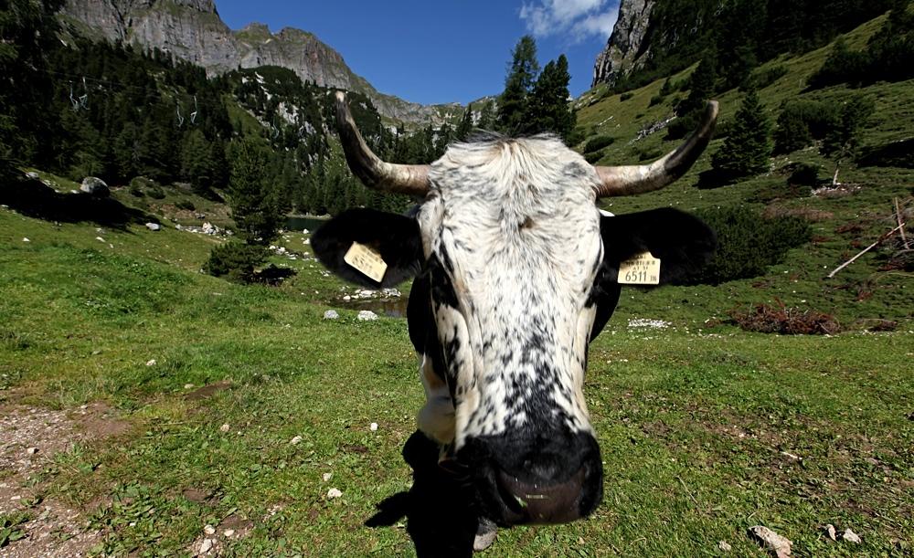 Kuh schwarz-weiß