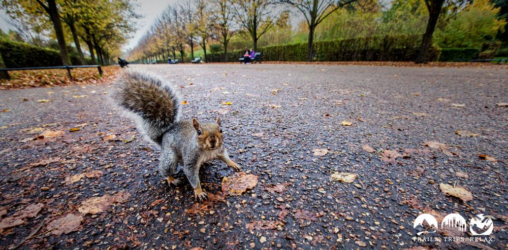 Eichhörnchen im Regent Park