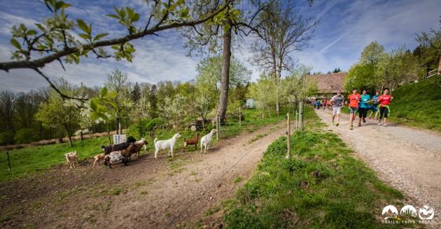 Etwas ungläubige Beobachter des Spektakels - Ziegen die auf Läufer starren