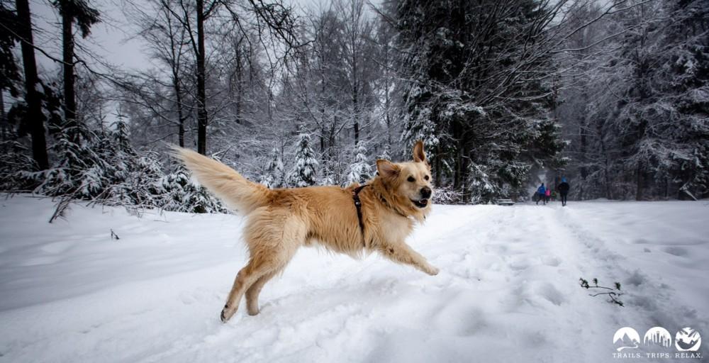Tiefschnee-Spaß auf dem Trail, auch für Hunde