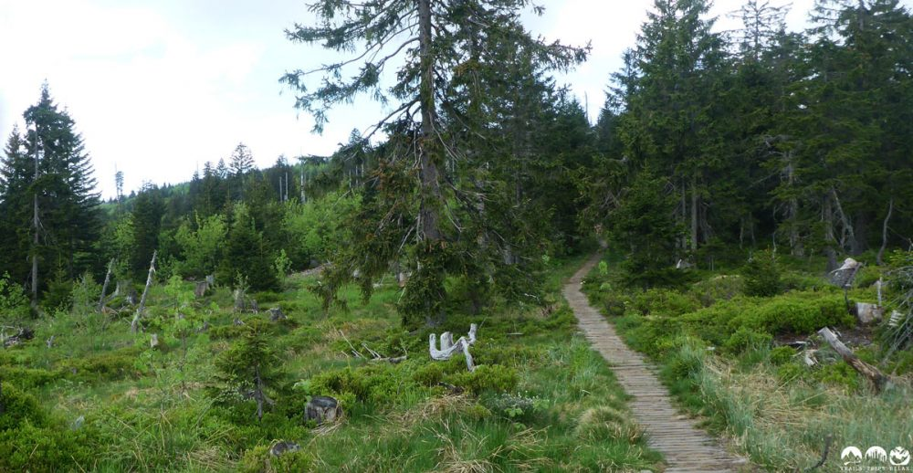 Auf Holzstegen durch das Hochmoor auf dem Goldsteig