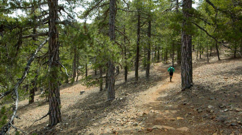 Lockerer Lauf durch den Kiefernwald